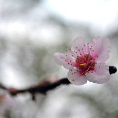 Hello Yinghua, we meet again. You were Sakura the first time we met. #cherryblossom #march1
