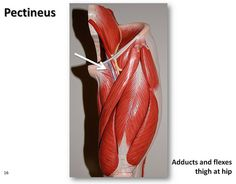 pectinus+muscles+lmages | Pectineus - Muscles of the Lower Extremity Anatomy Visual Atlas, page ...