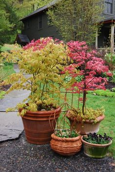 I would love to have potted japanese maples on my balcony to make it feel like a garden oasis. :)