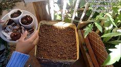 Como plantar Inhame através das Cascas