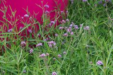 Verbena bonariensis 'Lollipop' (PBR) | /RHS Gardening