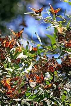 monarch migration - pismo beach, california. Happened on this when we were driving up the CA coast. Millions of monarchs in a eucalyptus forest.