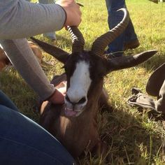 Today the vet taught us that springbok have a scent gland on their back that smells like candy floss!