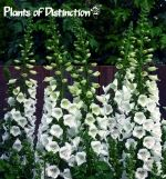 Outsidepride Foxglove White - 5000 seeds Outsidepride is a family owned U. No other company on this listing is selling our seed. USDA Zones: 4 - 8 Height: 35 - 47 inch perennial Bloom Color: White Sowing Rate: 4 - 6 seeds per plant