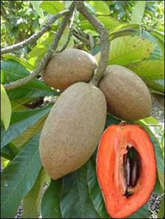 Mamey sapote or Zapote Fruit antillas Fruit Plants, Fruit Garden, Edible Garden, Fruit Trees, Weird Fruit, Strange Fruit, Fruit And Veg, Fresh Fruit, Fruits And Veggies
