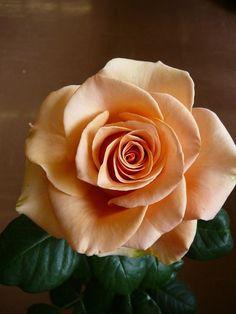 .. Peach Rose, Red Roses, Orange Roses, Pretty Roses, Beautiful Roses, Romantic Roses, My Flower, Love Flowers, Flor Tattoo