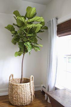 fiddle leaf fig tree in basket
