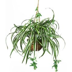 Spider Hanging Plant. Easy to grow. She can take a starter piece with her when she goes to re-root and grow on her own. Symbolic.