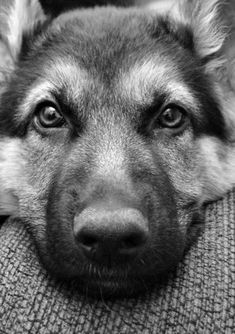 German Shepherd Dog.....love their expressions