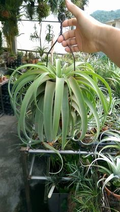 Air Plant | Tillandsia  It has a different look then the other ones.
