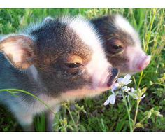 I WANT A MINI PIG SOOOO BAD!!!!! :( i hate when you want something you cant get:( soon though!!!! agghhh so cute!    Pigs are too adorable not to want!