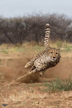 Learn about Cheetah Conservation and Inform Your Travels to Namibia - - Learn about Cheetah Conservation and Inform Your Travels to Namibia Amazing Africa Travel Cheetah Conservation on the Waterberg Plateau Travel Photography Wild Animals Photography, Wildlife Photography, Travel Photography, Photography Ideas, Animals And Pets, Baby Animals, Cute Animals, Funny Animals, Wild Animals Pictures