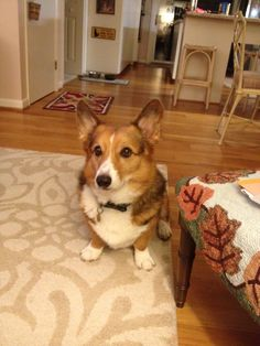 Sable corgi...Ty and I think Booker might grow up to look like this guy!