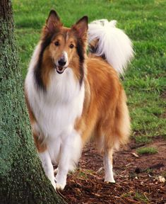 Beautiful collie. I grew up with one as a child and she was so loving and protective.  She lived to be 19 years old and was a constant and devoted companion.  Love you, Lassie. (Not very original name I know  but we were young)