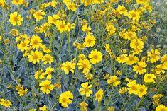brittlebush flowers anza borrego desert