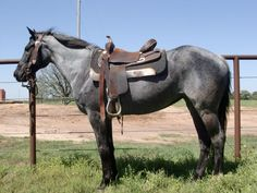 Bartenders Blue Duch - Blue Roan Quarter Horse Mare  $2500