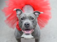 FRANCHIE - A1062835 - - Brooklyn  TO BE DESTROYED 01/23/16 Franchie has so much going for her and yet she's imprisoned in the city shelter in which she is most likely to be killed tomorrow. Sure, Franchie is a pit bull mix, but she's been friendly and obedient if perhaps a bit jumpy. She's a pretty, gray girl with adorably inquisitive features. Franchie only weighs 35-pounds which is small for her breed even though she probably is not 2-years old yet. Franchie was aba