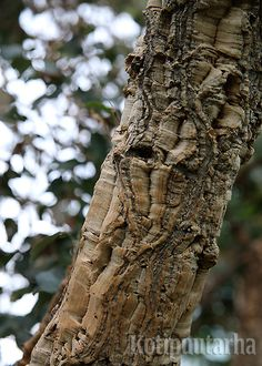 Korkkipuu (Phellodendron-amurense), Bergianska Trädgård, Tukholma. Medicinal Herbs, Trees, Tree Structure, Wood