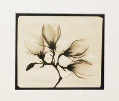 Magnolia xray