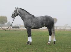 """Buxo"" born: 2006 Lusitano stallion Height: 162 cm Color: gray"
