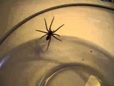 Mom found a really big wolf spider, I shot a little video and let it go. Big Wolf, Wolf Spider, Mom, Mothers