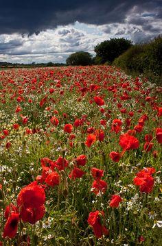 Breakthrough - wild poppies, Ingleby, Derbyshire, England, UK