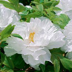 Tree Peony 'Yu Ban Bai' (White of Jade)  Paeonia  I so want this