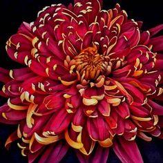 hybridTypes of Japanese Chrysanthemum Flower Chrysanthemum Flower Pictures, Japanese Chrysanthemum, Chrysanthemum Tattoo, November Birth Flower, Birth Month Flowers, September Flowers, Red Flowers, Beautiful Flowers, Virtual Flowers