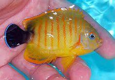 ebli x lemon peel Marine Aquarium Fish, Saltwater Aquarium, Fish Art, Tropical Fish, Discus, Animals, Lemon, Life, Saltwater Tank
