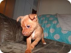 Yorkie, Pomeranians and Tes on Pinterest