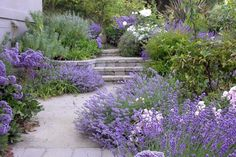 lavender, berginia, penstemon, roses, artemisia, grasses, and...
