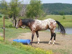 Appaloosa stallion - Bar Tee Ranch - Snickers