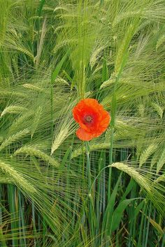 STAND out Loud!        Corn poppy!,,,BIEN  JOLI  ET  SOLO  COM  MY,,,,,,**+