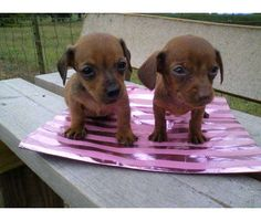 chiweenie pups