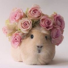 Little Hampster! Funny Animal Pictures, Awsome Pictures, Hamsters, Chinchillas, Beautiful Creatures, Animals Beautiful, Beautiful Birds, Animals And Pets, Funny Animals