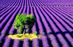 The beautiful lavender fields of Valensole in Provence, France