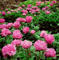 Peonies are transplanted in the early fall, after the first frost. Simply dig up your plants and move them to your new location, making sure, however, that you've thoroughly enriched the soil in their new home with 10-10-10 and compost. (Peonies appreciate a rich soil.) If you wish to divide them, you may cut apart the fleshy roots into a number of sections to create new plants. Be certain to leave three or four of the prominent reddish shoots (called eyes) on each piece and plant the roots…