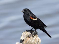 malered-wingedblackbird.jpg 768×576 pixels