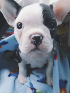 Harvey the half French Bulldog.
