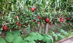 Stepover apple tree. Article about how to grow fruit in a small space.