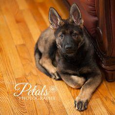 Sable German Shepherd Puppy.