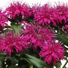 Monarda 'Balmy Purple', is a beautiful dwarf bee balm with eccentric purple blooms in early summer. A favorite of bees, butterflies, and hummingbirds bee balm has tubular flowers full of nectar for th