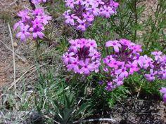 Glandularia bipinnatifida - SHOWY VERBENA Other Common Names:prairie verbena, showy vervain, wild verbena, small-flowered verbena, Great Plains verbena