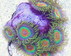 Collector Aquacultured Rasta Zoas Coral - 7 Polyps