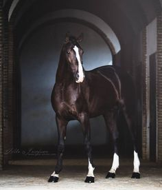 Lusitano stallion Boléro posing in stable arches, Tilda Josefsson Photography