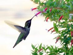 RUBY-THROATED hummingbirds are migrating to North America weeks earlier than in decades past, and research indicates that higher temperatures in their winter habitat may be the reason.
