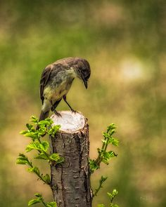 Eastern Phoebe - Original fine art nature wild bird photography by Bob Orsillo.  Copyright (c)Bob Orsillo / http://orsillo.com - All Rights Reserved.  Buy art online.  Buy photography online   Adult Eastern Phoebe resting on fence post.