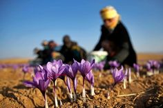 As spring crocus blooms approach, some growers have visions of a fall-flowering crocus that produces saffron, the world's most valuable spice. Hydroponic Gardening, Hydroponics, Growing Saffron, Puerto Rico, Saffron Flower, Little Compton, Cash Crop, Wine Design, Adventure Is Out There