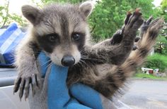 Squirrels, bats and raccoons can be a health hazard. Click here http://www.tristatewildlife.com