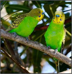 Budgerigar in the wild Funny Birds, Cute Birds, Small Birds, Colorful Birds, Ring Necked Parakeet, Budgie Parakeet, Budgies, Animals And Pets, Cute Animals